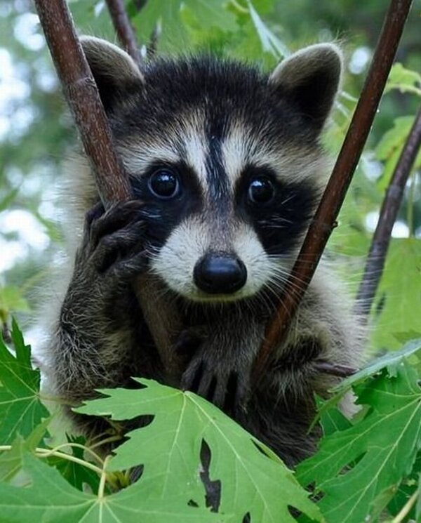 cute, raccoon, innocent , kind, animal