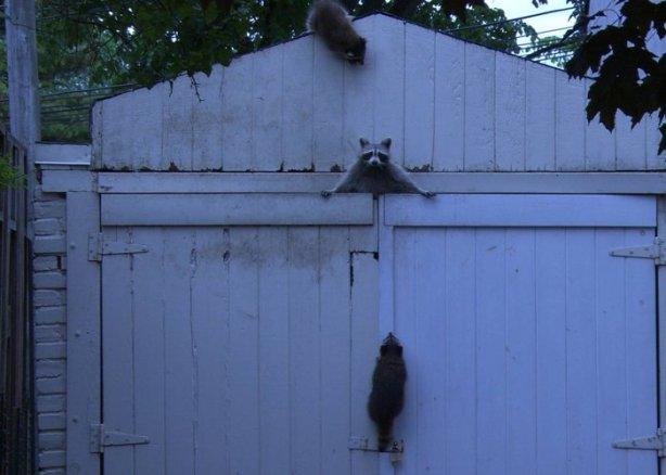 raccoon, raccoon family